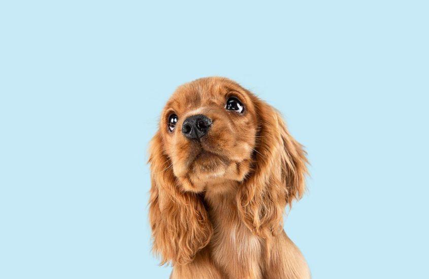 Top 10 des chiens d'appartement